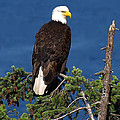 Wild Bald Eagle On Fir Tree by Derek Holzapfel