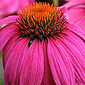 Wild Berry Purple Cone Flower by Susan Herber