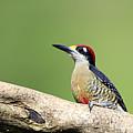 Wild Black-cheeked Woodpecker by Mlorenzphotography