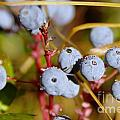 Wild Blue Berries With Water Drops  by Jeff Swan