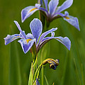 Wild Blue Flag Iris by Dale Kincaid