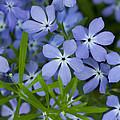 Wild Blue Phlox Flower 1 A by John Brueske