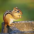 Wild Chipmunk  by Elena Elisseeva