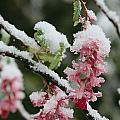Wild Currant Blossoms Ribes Sanguineum by Sylvia Sharnoff