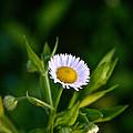 Wild Daisy by Susan Herber