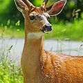 Wild Deer by Randy Harris