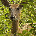Wild Doe by Darleen Stry