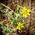 Wild Flowers by Carol Kristensen