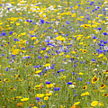 Wild Flowers In A Field by Fraser Hall