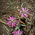 Wild Flowers by Steve McKinzie