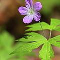 Wild Geranium by Bruce J Robinson