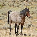 Wild Horses Wyoming - The Mare by Donna Greene