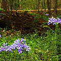 Wild Phlox In The Woodlands by Greg Matchick