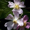 Wild Pink Rambling Rose by Kathy Clark