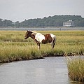 Wild Pony In The Marsh On Assateague Island Md by Sven Migot