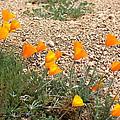 Wild Poppies by Kim Galluzzo Wozniak