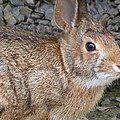 Wild Rabbit by Azthet Photography