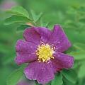 Wild Rose by Darwin Wiggett
