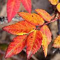 Wild Rose Leaves by Doug Lloyd
