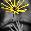 Wild Swamp Daisy by Carolyn Marshall