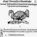 Wild Turkey, 1604 by Granger