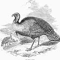 Wild Turkey, 1853 by Granger