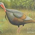 Wild Turkey by Alan Suliber