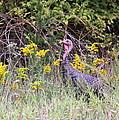 Wild Turkey - Gobbler - Thanksgiving by Travis Truelove