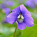 Wild Violet by Lila Fisher-Wenzel