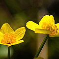 Wild Yellows by Bill Pevlor