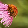 Wildflower Dew Drops by Carolyn Marshall