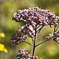 Wildflower by Trish Tritz
