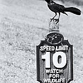 Wildlife Watching The Speed Limit by Roger Wedegis