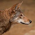 Wile E Coyote by Karol Livote