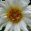 Wiley White Dahlia by Susan Herber