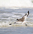 Willet Flying by Roena King