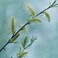 willow catkins by Priska Wettstein