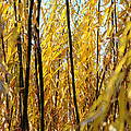 Willow Curtain by Duncan Nelson