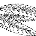 Willow Leaves, Woodcut by Gary Hincks