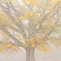 Willow Oak In Fog by Bill Swindaman