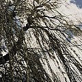 Willow Tree by Todd Sherlock