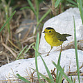 Wilsons Warbler By The Stream by Roena King