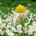 Wilted Daisy In The Garden by Michelle Hawk