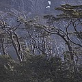 Wind-sculpted Southern Beech Forest by Gordon Wiltsie