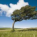 Wind-swept Solitary Tree On Open Grassy by Axiom Photographic