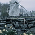 Windmill And Daffodils  by Nancy Patterson