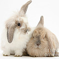 Windmill-eared Rabbits by Mark Taylor