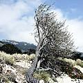 Windswept Tree by Richard Reeve