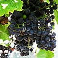 Wine Grapes At Kendall Jackson Wine Estates by Kelly Manning