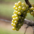 Wine Grapes by Leslie Leda